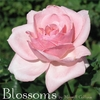 Merrill Collins: Blossoms