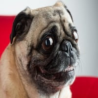 "Image result for ""pugs and puns"" cdbaby"